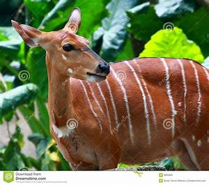 A Female Bongo stock image. Image of endangered, brown ...