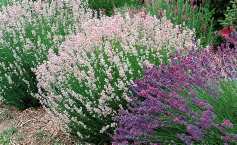 varieties of lavender plants book review of lavender the grower s guide by virginia mcnaughton north coast gardening