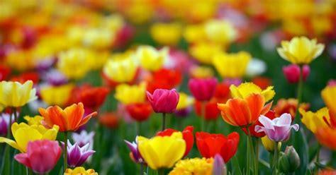 Foto: Sākas pavasara ziedēšanas 'trakums' - DELFI