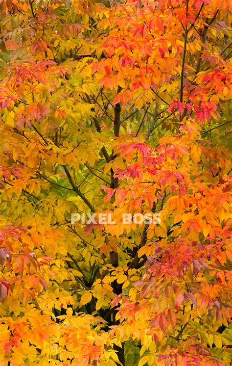High Resolution Fall Foliage Pictures Colorado Fall Colors Serendipity 2 Pixel Boss Ultra High Resolution Stock Photography