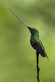 sword billed hummingbird wikipedia