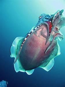 File:Hooded Cuttlefish.jpg