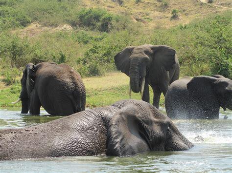elephant safaris  desktop wallpapers