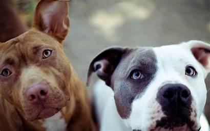 Pitbull American Bull Pit Hund Tiere Sa