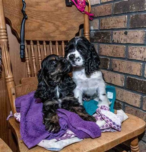 Give us a call today! Parti Color Cocker Spaniels - Puppies For Sale at Penny Lane Cocker Spaniels