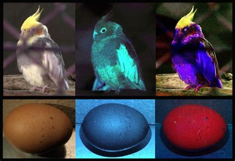 are chickens color blind bird vision