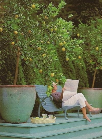 decorating with meyer lemon trees home