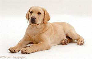 Yellow Lab Wallpapers - Wallpaper Cave