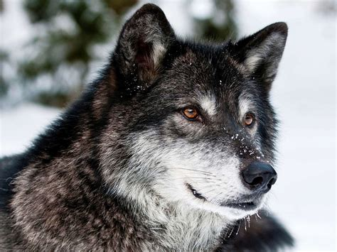 Wolf Wallpaper by 30 Wolf Backgrounds Wallpapers Images Pictures Design