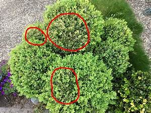 Raupen Buchsbaumzünsler Bekämpfung : buchsbaumz nsler hausmittel hilft dem buchsbaum fortyshoes ~ Watch28wear.com Haus und Dekorationen