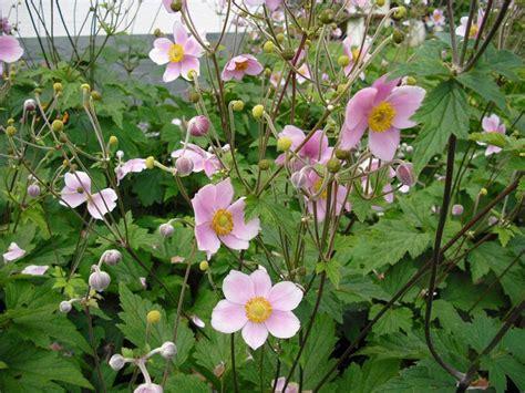 stauden die im winter blühen herbstanemone gartenbepflanzung garten herbstanemone und garten pflanzen