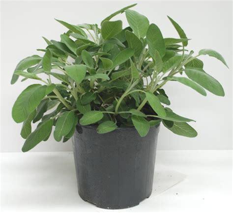 salvia in vaso pianta di issopo su vaso 14 linea verde