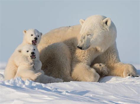 Kā izskatās, ja polārlācis mēģina uzkāpt uz laivas? - Skats.lv