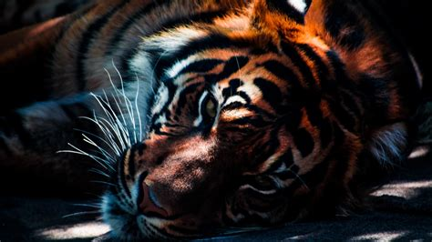 tiger closeup wallpapers hd wallpapers id