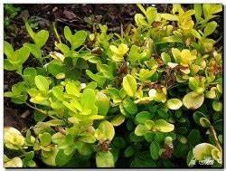 Buxbaum Schneiden Wann : buxus sempervirens golden china ~ Lizthompson.info Haus und Dekorationen