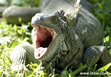 green iguana  love  animal world