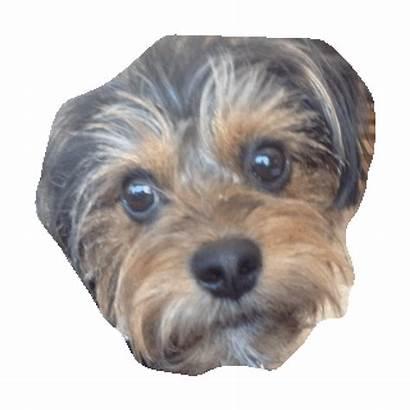 Yorkie Sticker Imoji Giphy