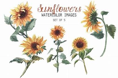 Sunflowers Clipart Watercolor Illustrations