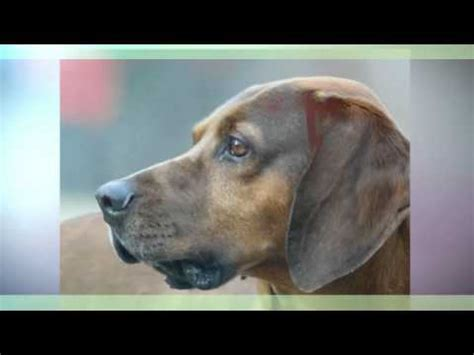 redbone coonhound temperament