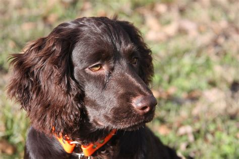 do boykin spaniel dogs shed find out if your state has an official barkpost