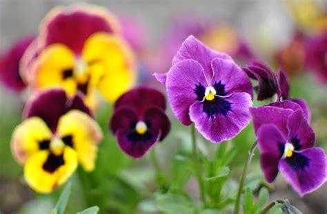 fiori pensiero scelte per te giardino fiore viola pensiero
