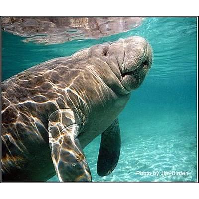 West Indian Manatees: Crystal River Florida