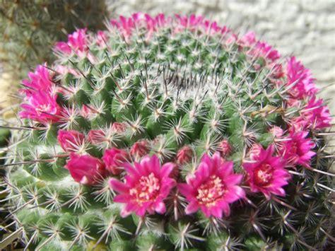 comment entretenir un cactus en pot mammillaria mammillaria mammillaris rempotage entretien arrosage