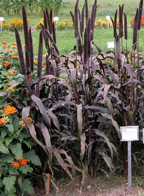 pennisetum glaucum purple majesty seeds  sale