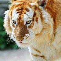 Tiger Roar Feel Like Making Happen Today Either