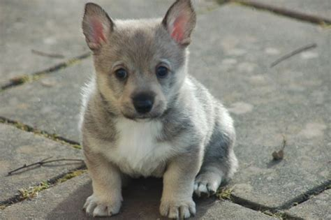 wolf corgi puppy corgi x wolf swedish vallhund for the love of animals pinterest wolves and corgis