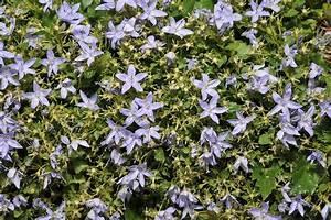 Bodendecker Blaue Blüten : glockenblumen campanula sorten ~ Frokenaadalensverden.com Haus und Dekorationen