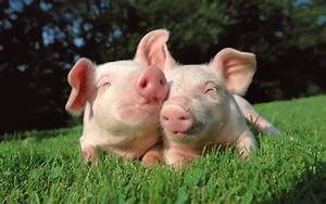 Pigs | Fun Animals Wiki, Videos, Pictures, Stories