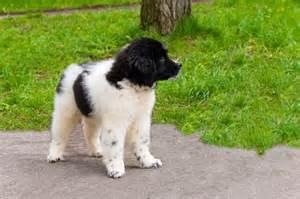 Gentle Giant Dog Breeds