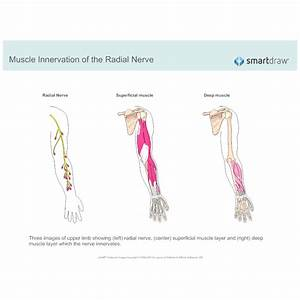 Muscle Innervation Of The Radial Nerve