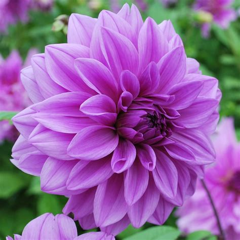 time flowers dahlia lilac time rose cottage plants