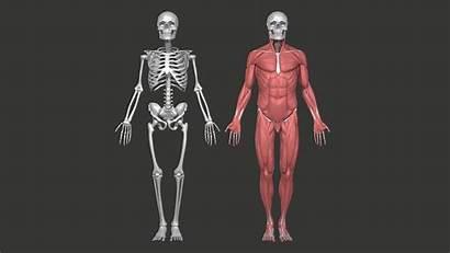 Anatomy Skeleton Male Muscular Reference Skull Models