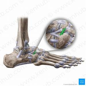 Joints And Ligaments Of The Foot  Anatomy