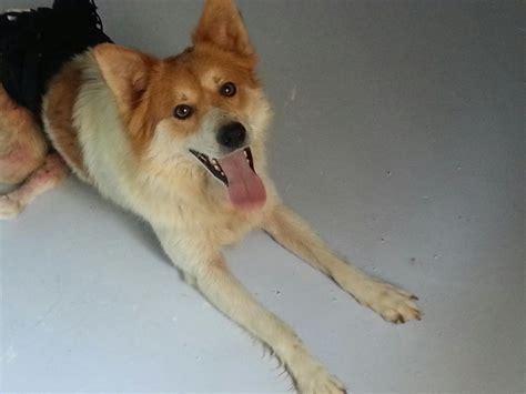 cani da appartamento taglia media piccola razze di cani taglia media da appartamento cani da