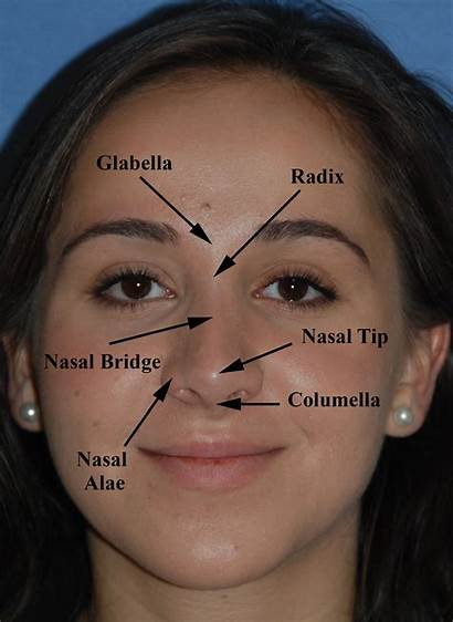 Anatomy Rhinoplasty Nose Nasal Facial Surgery Job