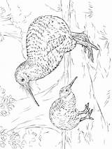 Kiwi Coloring Pages Birds Print Printable Recommended sketch template