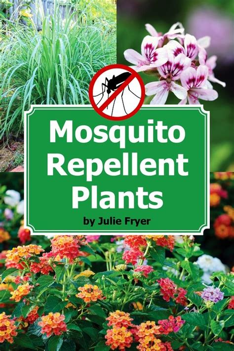 pest repellent plants 1000 ideas about lemongrass mosquito on pinterest mosquito repelling plants plants that