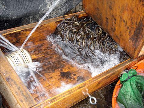 fish migration american eel