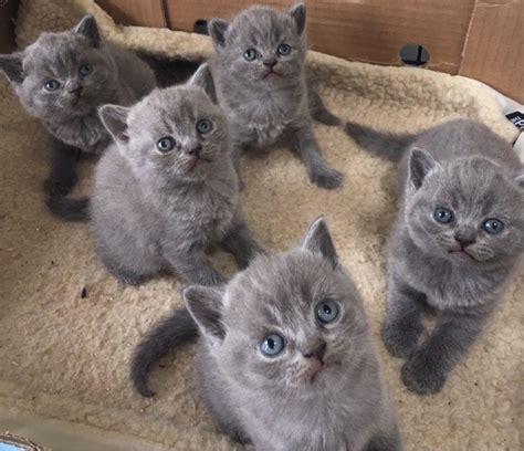 shorthair kittens for sale buy shorthair kitten shorthair kitten