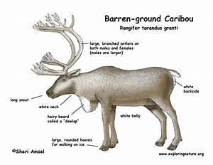 Caribou  Barren
