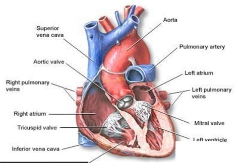 Heart blood flow system with blood vessel scheme. Medical Week 2017 - You, your heart and your blood vessels ...