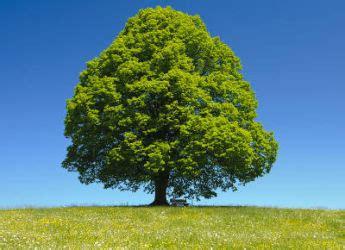 feuille cuisine tilleul un arbre de culture facile et plein de bienfaits