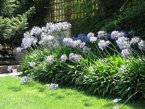 landscaping with agapanthus 25 trending agapanthus plant ideas on pinterest white agapanthus agapanthus garden and