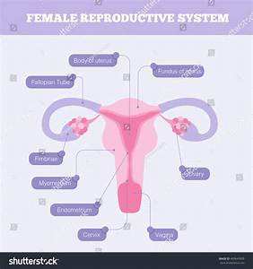 Female Reproductive System Flat Info Graphic Stock