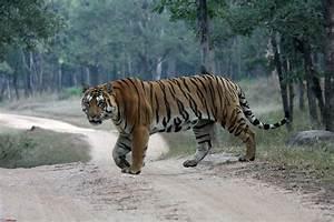 Wild Tiger Watch: Tiger Pics