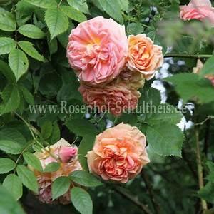 Rosen Düngen Im Frühjahr : alchymist rosen online kaufen im rosenhof schultheis rosen online kaufen im rosenhof schultheis ~ Orissabook.com Haus und Dekorationen